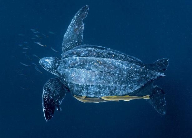 leatherbacks-01-615
